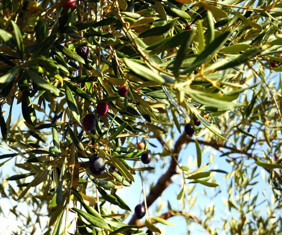 Huiles d'olive Bio/Demeter EU